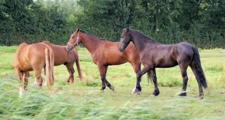 Download Horses in the Netherlands Free Photo