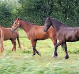 Free Photo - Horses in the Netherlands