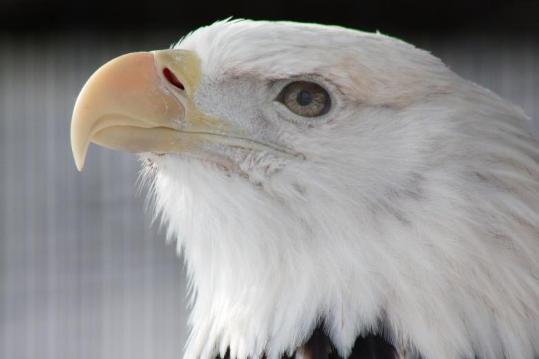 Free Stock Photo of Bald Eagle Created by Tony Ryta