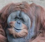 Free Photo - Male Adult Orangutan