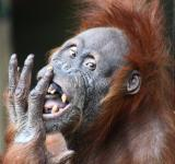 Adult Orangutan - Free Stock Photo