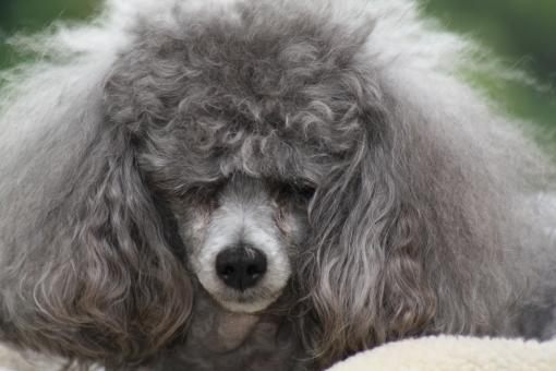 Toy Poodle with bad hair - Free Stock Photo