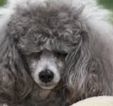 Free Photo - Toy Poodle with bad hair