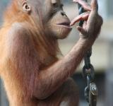 Free Photo - Baby Orangutan