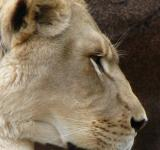 Free Photo - Lioness in profile