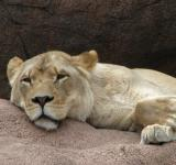Free Photo - Sleeping Lioness