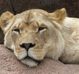 Free Photo - Lioness in closeup