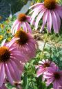 Free Photo - Cone flowers
