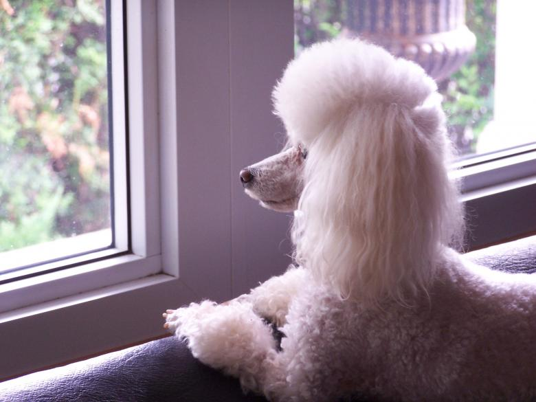 Free Stock Photo of Toy Poodle Created by Tony Ryta