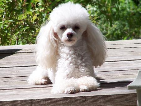 Toy poodle - Free Stock Photo