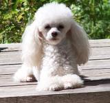 Free Photo - Toy poodle