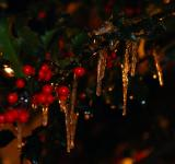 Free Photo - Christmas Holly and Ice