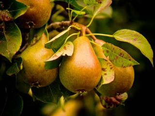 Download Pears Free Photo