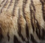 Free Photo - Tiger Fur