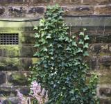 Free Photo - Vine Ivy on church wall