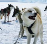 Free Photo - Huskies
