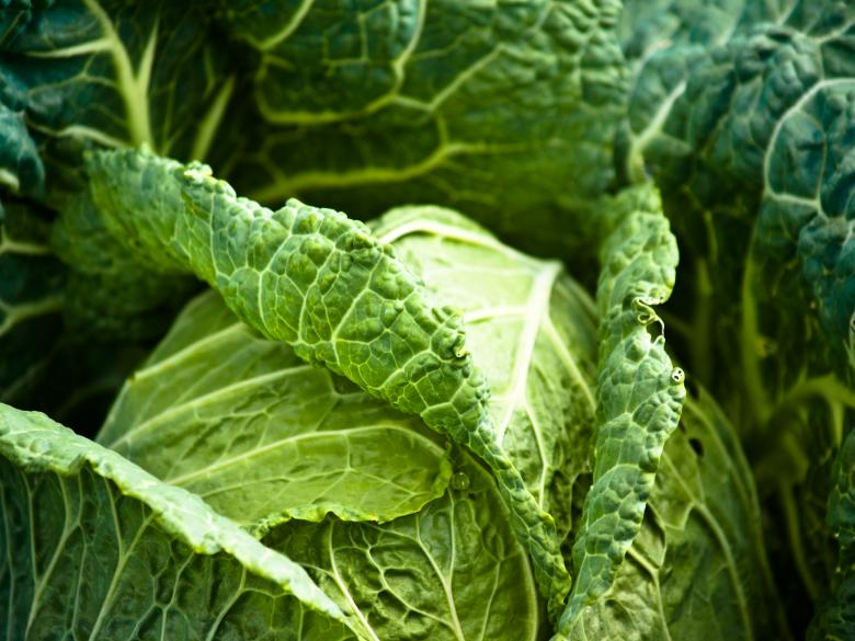 Free Stock Photo of Cabbage Created by Alen