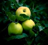 Free Photo - Apples