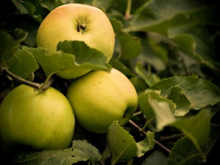 Apples - Free Stock Photo