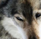 Free Photo - Close up with a husky