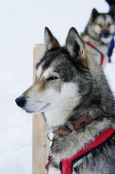 Close up with a grey husky - Free Stock Photo