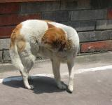 Free Photo - Brown and White Dog