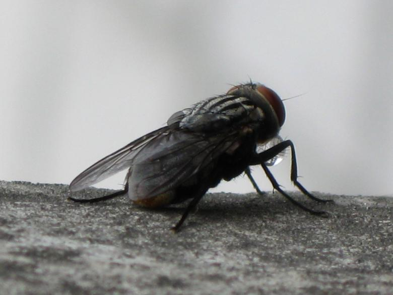Free Stock Photo of Fly Created by pmao