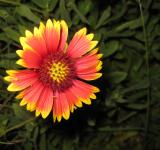 Free Photo - Yellow and red flower
