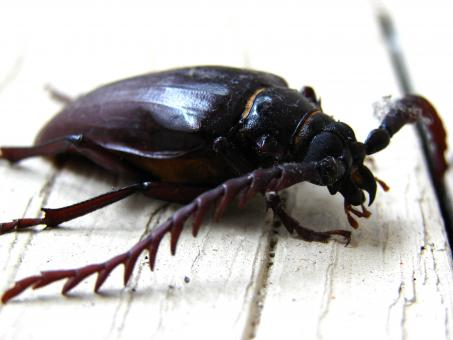 California prionus beetle - Free Stock Photo