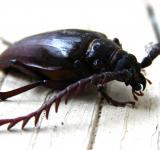 Free Photo - California prionus beetle