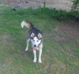 Free Photo - Husky