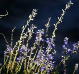 Free Photo - Lavender