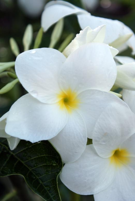 Free Stock Photo of White Flowers Created by Jesus Baez