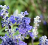 Free Photo - Blue Lavender