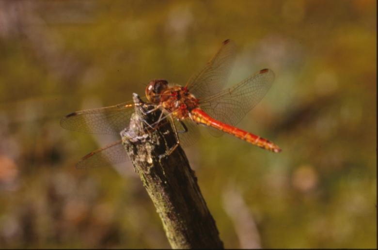Free Stock Photo of DRAGONFLY Created by MUNCH PIERRE