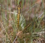 Free Photo - DRAGONFLY