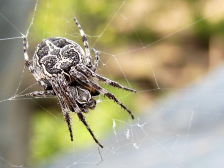 Garden Spider - Free Stock Photo