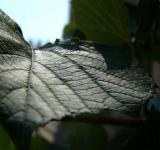 Free Photo - Vine Leaf