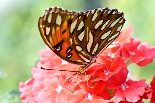 Butterflies and Flowers - Free Stock Photo