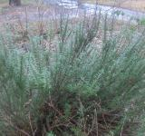 Free Photo - Frozen rosemary
