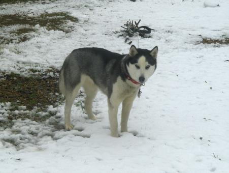 Husky in the snow - Free Stock Photo