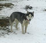 Free Photo - Husky in the snow