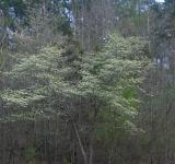 Free Photo - Blooming dogwood