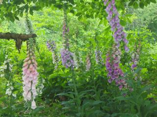 Download Foxgloves Free Photo