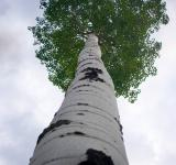 Free Photo - Tall Aspen Tree