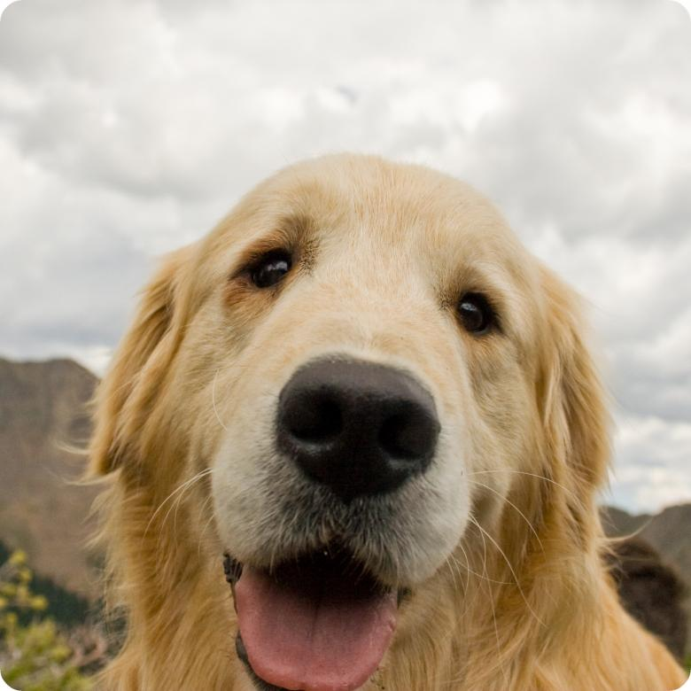 Free Stock Photo of Cute Golden Retriever Created by James Stewart
