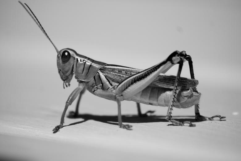 Free Stock Photo of Grasshopper Created by James Stewart