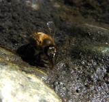 Free Photo - Bee drinking water