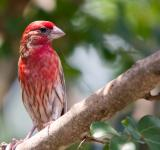 Free Photo - Birds, purple finch