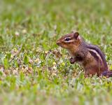 Free Photo - Chipmunk